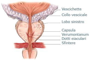 Struttura di reparto cervicale di uccelli